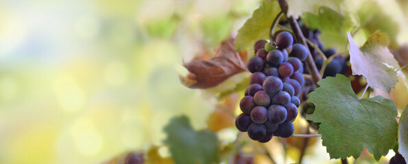 panoramic view on a black grapes growing in vineyard
