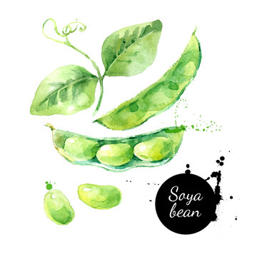 Watercolor soya beans illustration. Painted isolated fresh superfood on white background