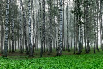 Photo sur Plexiglas Bosquet de bouleaux fog landscape, birch grove in autumn morning, blurred tree silhouettes, autumn