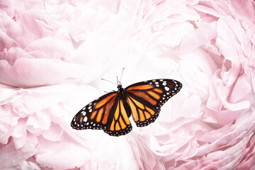 Papiers peints Fleur Amazing monarch butterfly on beautiful flowers, closeup