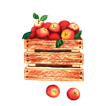 Watercolor box of apples on a white background. Hand-drawn illustration