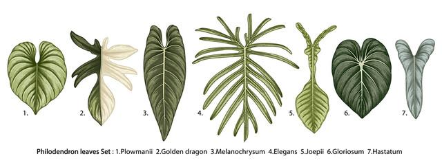 Vintage vector botanical illustration, tropical exotic plant, jungle foliage, philodendron leaves set isolated on white background.
