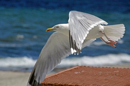 Möwe fliegt am Strand