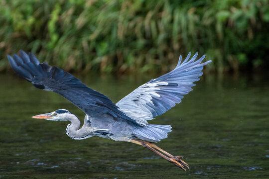 Fischreiher im Flug