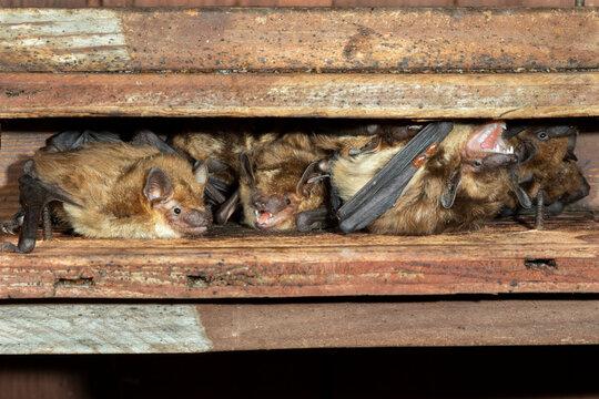 Big brown bats (Eptesicus fuscus) colony in attic, Iowa, USA.
