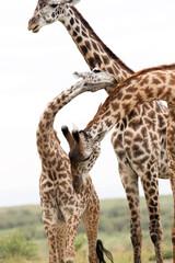 Wall Mural - Giraffes showing courtship, at Masai Mara