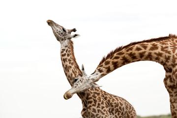 Wall Mural - A pair of Giraffes showing courtship, Masai Mara