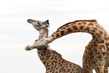 Wall Mural - A pair of Giraffes courtship, Masai Mara