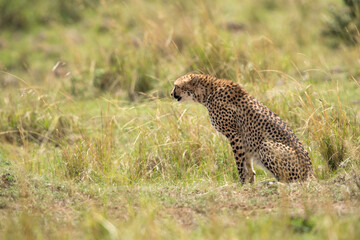 Wall Mural - Cheetah looking towards prey,  Masai Mara