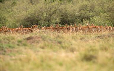 Wall Mural - A herd of Impalas grazing with alertness, Masai Mara