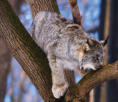 Close-up of a Canada lynx bobcat climbing a tree big paws pointy furry ears