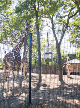 beautiful, graceful giraffes in den of trees and zebra in background behind fence at the Lincoln Park Zoo in Chicago, Illinois