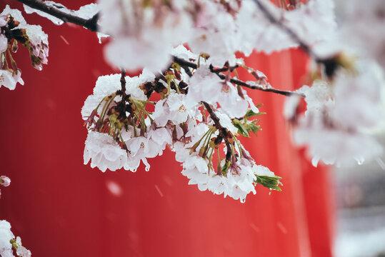 雪を被った桜