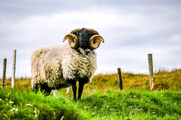Impressive blackface sheep with huge horns in County Donegal - Ireland