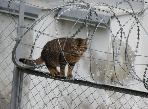 Cat in barbed wire