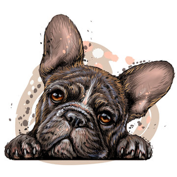 French bulldog. Sticker on the wall. Color, drawn, realistic portrait of a French bulldog puppy in watercolor style on a white background. Separate layer.