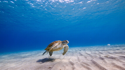 Green Sea Turtle swim in turquoise water of coral reef in Caribbean Sea