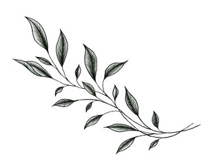 vintage leaf drawing isolated on white, ink  hand drawn botanical illustration of a plant branch, black floral sketch