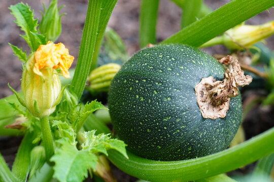 Grüne große runde Zucchini an Pflanze mit Blüte