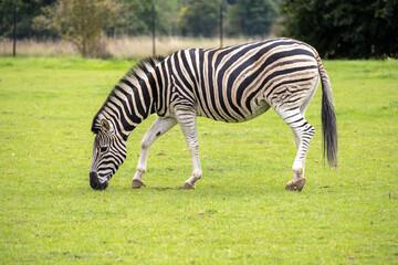 Printed roller blinds Zebra zebra eating grass