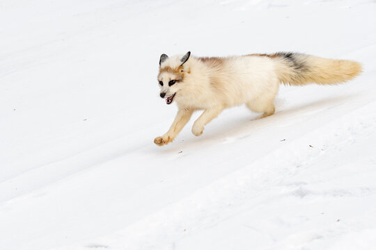 Red Marble Fox (Vulpes vulpes) Dashes Down Tire Track Winter