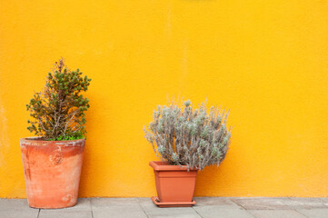 Two flowers in the pots near the yellow wall of the house. Abstract nature background. Colorful...