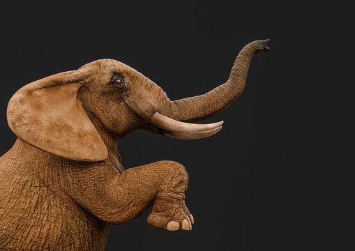 african elephant is standing up in a dark grey background side view