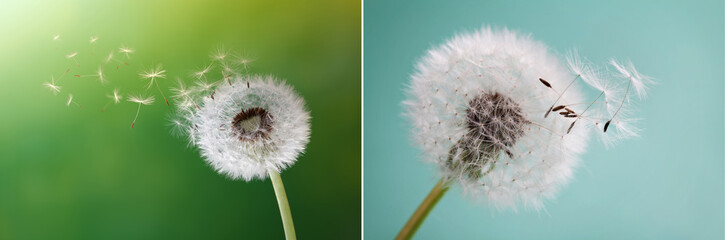 Dandelion, flower, nature, spring, green, grass, drops, dew, close up, Löwenzahn, Blume, Natur,...