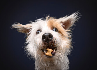 Cute long haired jack russell terrier is catching food flying in the air with crazy looking eyes Wall mural