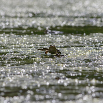 Frog jumping out of the water