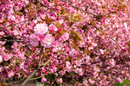 pink sakura blossom above the green grass. nature beauty in springtime.