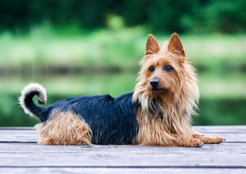 Summer portrait of black and sable tan purebred typical australian terrier. Pedigreed australian terrier dog sitting outside on wooden pier with green background. Smiling attractive doggy portrait