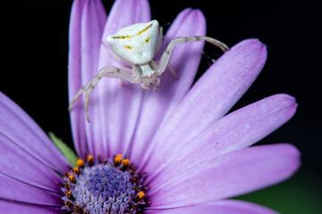 ragno granchio su fiore di dimorfoteca viola