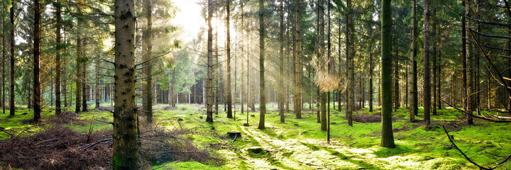 Coniferous forest used for forestry in the light of the morning sun
