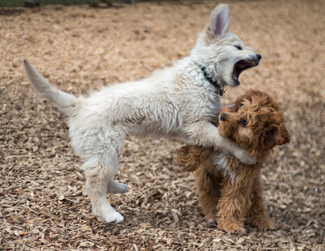 Two Dogs Playing in Dog Park