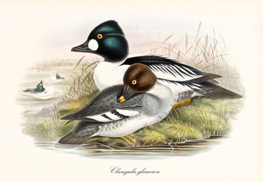 Couple of Common Goldeneye (Bucephala clangula) multicolor plumaged aquatic birds on a vegetated shore of a pond. Detailed vintage watercolor style art by John Gould publ. In London 1862-1873