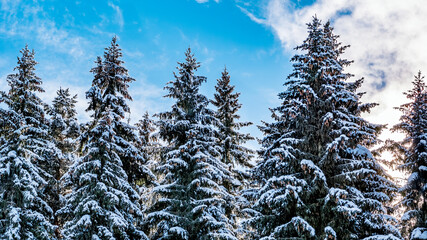 Winter pine forest nature background