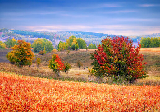Beautiful autumn landscape - colorful buckwheat field, few trees full of yellow, red and green leaves, hills, distant forest and cloudy sky in Deer Nature Park, Lipetsk oblast, Russia