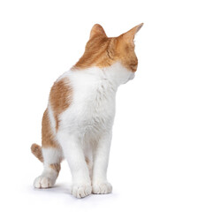 Wall Mural - Cute young red with white non breed cat, standing facing front. Head turned looking behind it. Isolated on a white background.