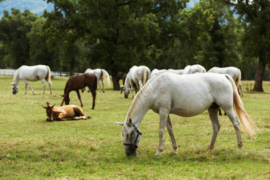 Lipizzaner horses in Lipica stable, Slovenia