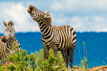 Wall Murals Zebra zebra in the wild