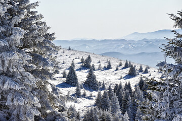 Winter forest covered in snow in Kopaonik, Serbia