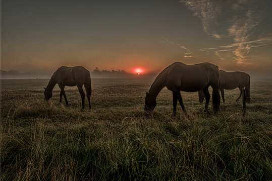 Horses grazing an early morning in the misty sunrise