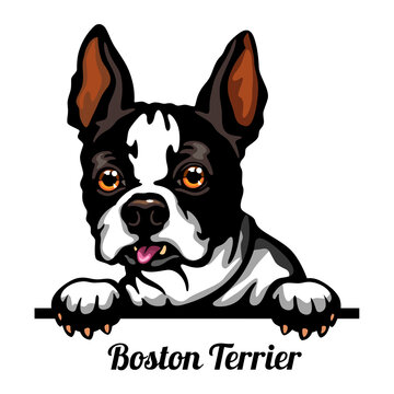 Boston Terrier - Color Peeking Dogs - breed face head isolated on white