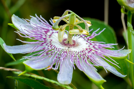 A purple passionflower, also known as a maypop bloom. Raleigh, North Carolina.