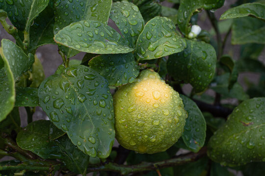 Lemons Growing on Lemon Trees in Calabria, Italy