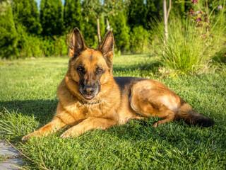 Portrait of German Shepherd posing in the grass