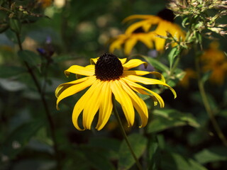 Flower from a echinacea species grow as perennial herbaceous plants that, depending on the species usually reach heights of up to 140 cm. Called coneflower. Yellow flower, important for autumn garden