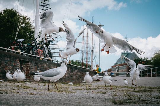 Lachmöwen streiten sich im Hafen um Futter - Emden, Deutschland