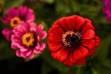 Obraz Czerwony kwiat i trzmiel - fototapety do salonu